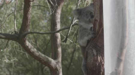 fofinho : Sleeping koala on a branch