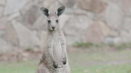 macropodidae : Young Kangaroo on east coast of Australia. Close up of head and face. Recorded in the wild