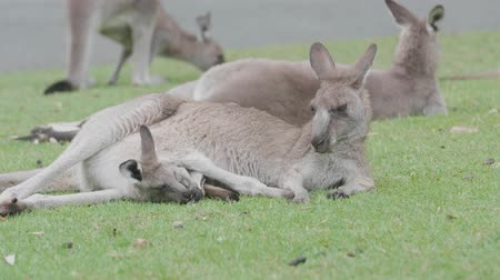 macropodidae : Young Kangaroo in mothers pouch, Recorded in the wild