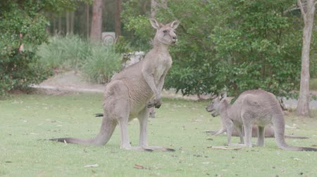 wallaby : Adult wild kangaroo chewing and licking