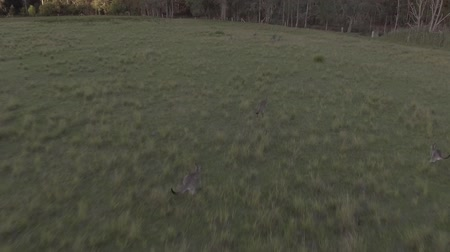 gölgeler : Kangaroos hopping across rolling green hills Stok Video