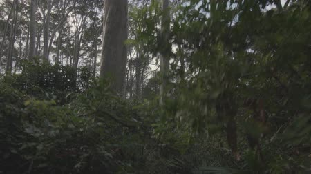 First person point of view of walking in gum forest Wideo