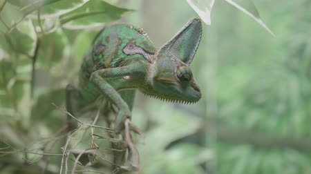 panter : close up of a green veiled chameleon lizard Stok Video