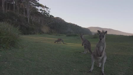 canguru : POV close up view of wild kangaroos
