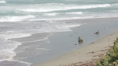 Seals at the coastal landscape of the Flinders Chase National Park Wideo