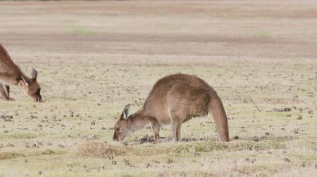 grey eyes : Kangaroo Island Kangaroos eating