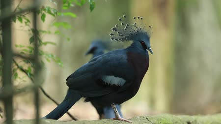 formální zahrada : Victoria crowned pigeon