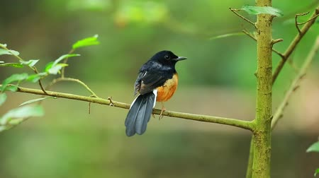 tehdit : White-rumped shama in Thailand. Stok Video