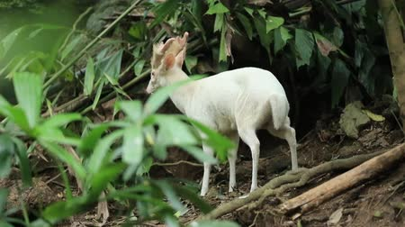 horned : Albino barking deer