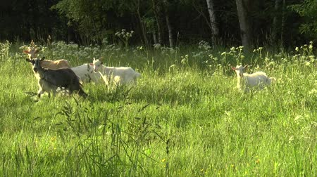 незрелый : White goat grazing in the field. Little goat on the chain.Mother goat with goat, two goats. Стоковые видеозаписи