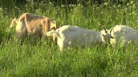 éretlen : White goat grazing in the field. Little goat on the chain.Mother goat with goat, two goats. Stock mozgókép