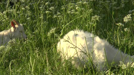 nezralý : White goat grazing in the field. Little goat on the chain.Mother goat with goat, two goats. Dostupné videozáznamy