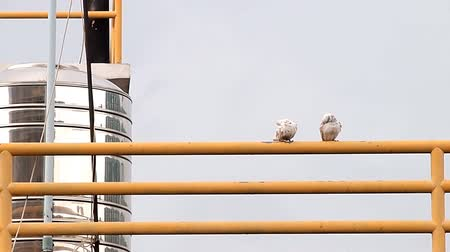 dove of peace : Couple doves of the city on the fence  Stock Footage