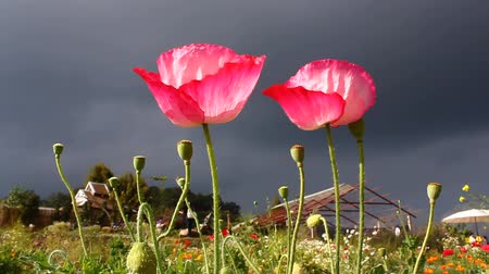 fotoszintézis : red poppies in the wind