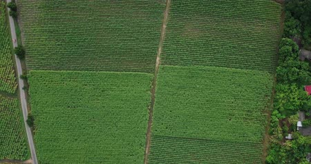ratchaburi : Aerial view or top view of Sugarcane or agriculture in rural  Ban Pong, Ratchaburi, Thailand Stock Footage