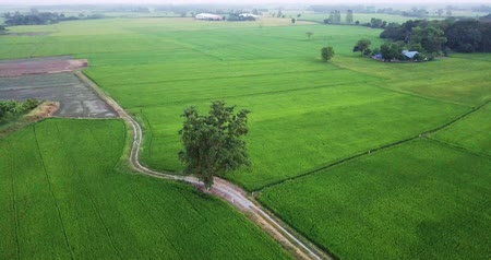 crane fly : Aerial view Drones fly around the big trees and along footpath beside two paddy fields rural scene Thailand.