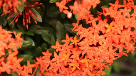герань : Beautiful red Ixora species flowers on leaves background Стоковые видеозаписи