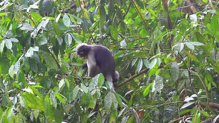 Dusky Langur sitting on tree branch in deep forest