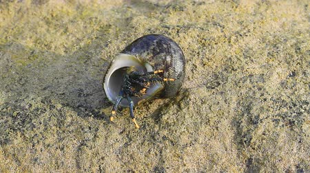 Hermit Crab in a screw shell on tropical sea Stock Footage