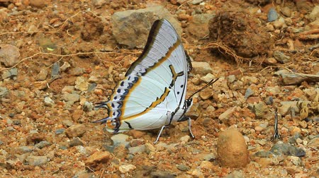 Beautiful Butterfly on ground in tropical forest Stock Footage