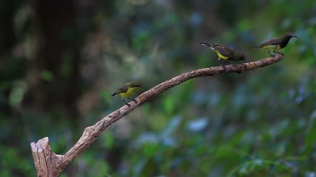 Olive-backed sunbird, Yellow-bellied sunbird on a tree