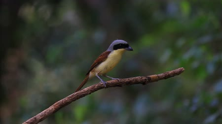 Tiger Shrike (Lanius tigrinus) standing on a branch in nature;
