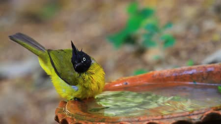 Beautiful bird Black-crested Bulbul , Pycnonotus melanicterus  playing water in summer on hot days