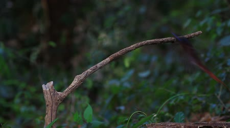 Bird in nature, asian paradise flycatcher perching on a branch