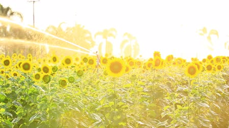 girassóis : Sunflower field during sprinkling water with sunset Pan camera