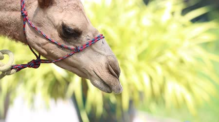 vaha : Close up of Camels eat from hand in thailand zoo