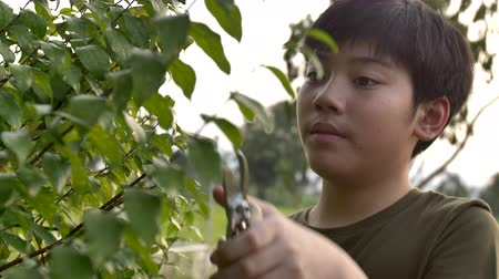 4K Slow motion of asian teen boy working in garden, Thai boy using scissors cutting green branch in the garden, Child activities in garden.