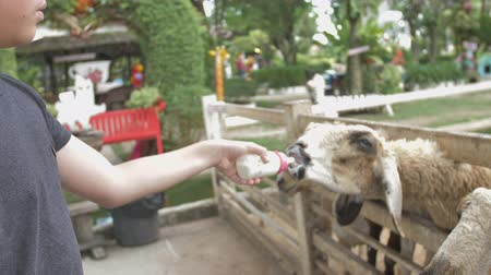 keçi : Asian cute child feeding sheep and goat from her hands, Slow motion 4K.