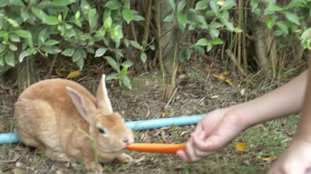 cordeiro : Asian Cute child boy feeding rabbits from hands. Preteen with farm animals, Slow motion 4K.