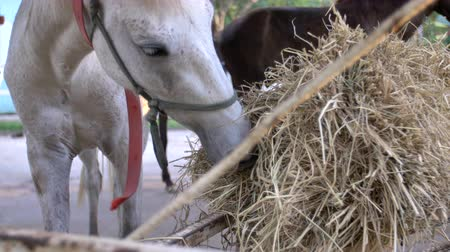 veulen : Close shot of a bay horse, eating hay in farm