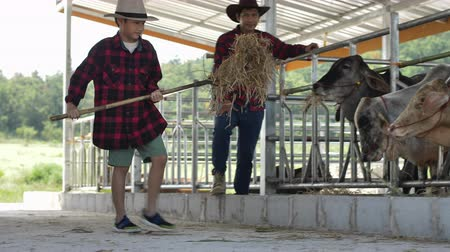 cow boy : Asian father teaches son to work at a cow farm.
