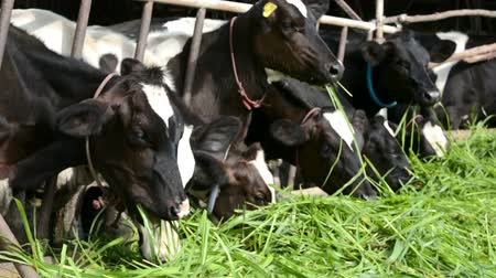Cows on Farm. Black and white cows eating green grass in the stable under morning sunshine. 影像素材