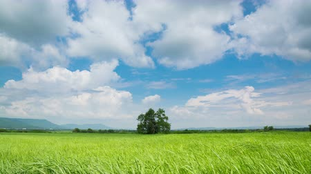 4k Timelapse Video Clip of Moving White Cloud on Blue Sky over Green grass Field Meadow in Nakhon Ratchasima, Thailand.