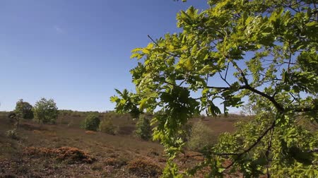vento : Oak branches and leaves moving in strong wind blowing in spring Vídeos