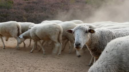 cor de malva : Sheep crossing on camera by a rural dirt road kicking up dust