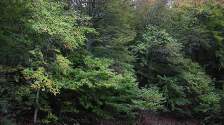 sorbus : Mountain ash and beech forest at the beginning of Fall