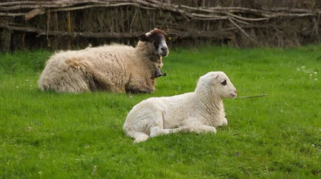 carinho : Flock of sheep with lamb lying on the grass next to his mother Vídeos