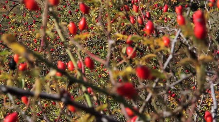 rosehips : Rose hips moving with the wind (Rosa canina) in autumn