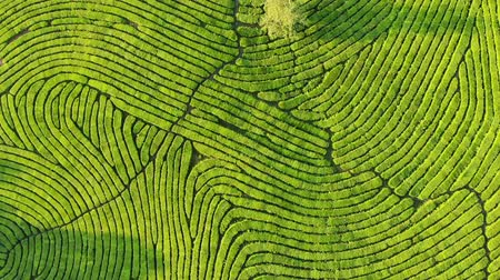 sklon : Drone Shot of top view of green tea plantation