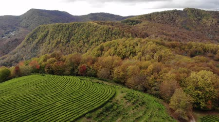 roaring : Drone areal view of the tea plantations in the mountains. Against the background of a stormy sky. Autumn Stock Footage