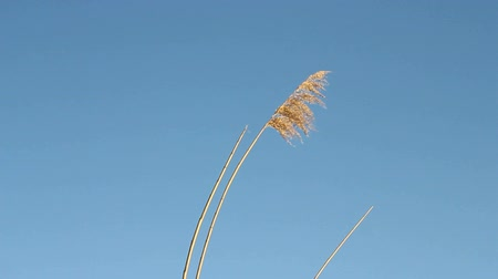 sazlık : Reed moving gently in the wind. Stok Video