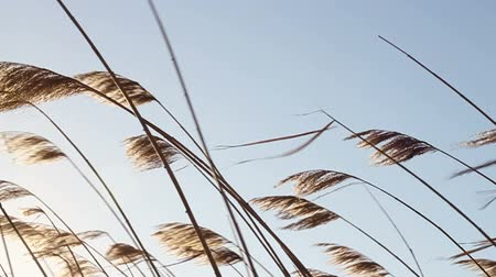 catástrofe : Reed moving gently in the wind. Stock Footage