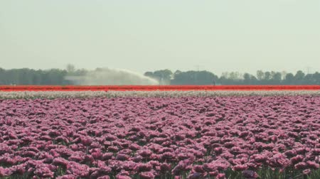 water cannon : Sprinkler installation is watering the dry fields of tulips in Flevoland, The Netherlands.