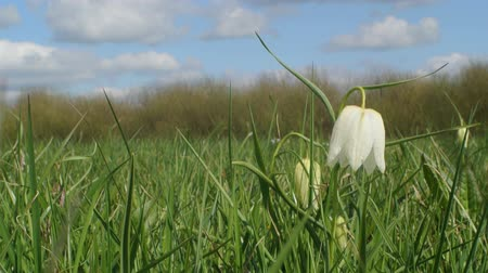 leper : Snakes Head or Checkered Daffodil moving in the wind in a grass field on a beautiful spring day. Stock Footage