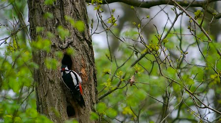 Флеволанд : Great spotted woodpecker drumming on a tree trunk in a forest.