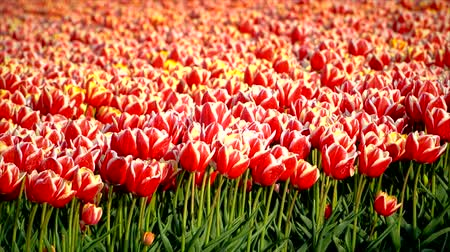 canteiro de flores : Field of tulips dancing in the wind on a lovely spring day. Vídeos